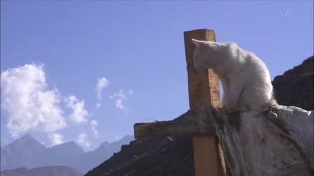南美大陆智利冈底斯山脉猫