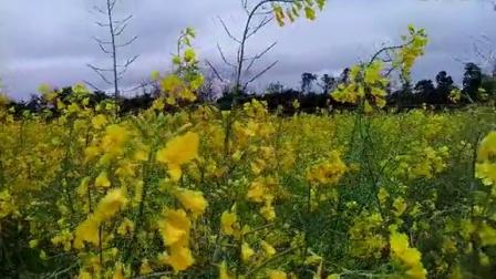 家乡的油菜花20150221_115705_001
