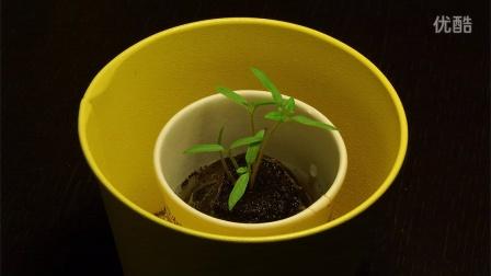 番茄成长小片段01