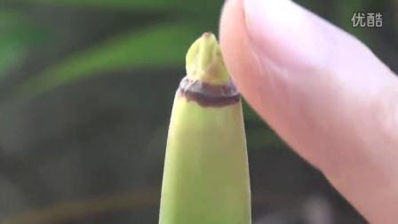 红树林认养之木榄胚轴认养指南#CMCN原创#