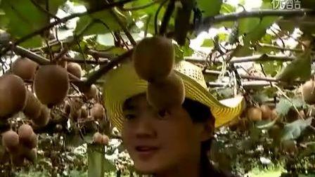 新西兰打工旅行 - 摘猕猴桃