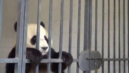 熊猫换岗记完整版