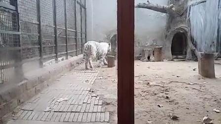 济南动物园白虎