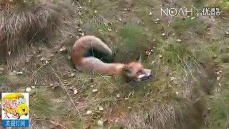 【幽默大巴】快看,谁说不同种类的动物就不能亲密无间(狐狸,狗)