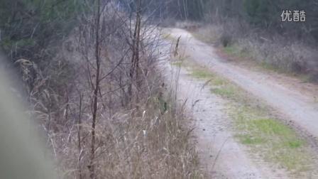 俄罗斯原始森林遇见野猪群 打猎 野外 黑熊
