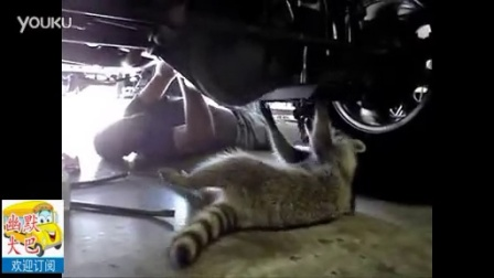 搞笑,小浣熊帮人类修车,说不定真能修好呢