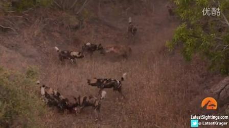 【哇哈哦哦】一群野狗为捍卫食物大战两只斑鬣狗
