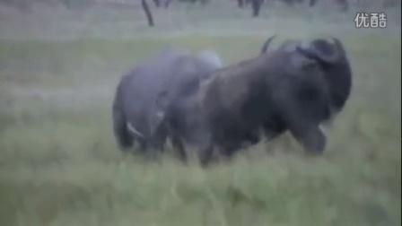 【轻熟男独家】犀牛vs非洲野牛 你说谁赢?