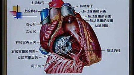 《系统解剖学》第21讲