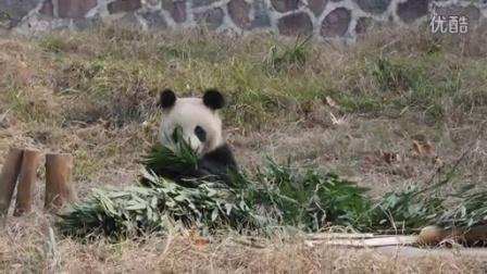 华丽丽的熊猫华丽妹纸160129
