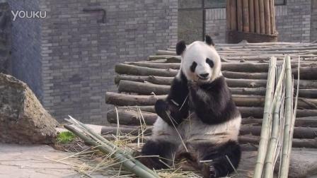 大熊猫英英