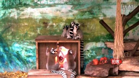【拍客】寒潮来袭 动物园猴子烤火取暖取暖姿势萌萌哒