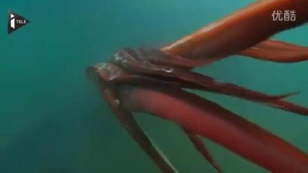 日本近海获拍大王乌贼 - 超清水下视频