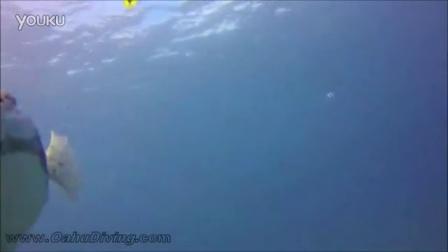 一只喜欢被潜水员抚摸的豚鱼