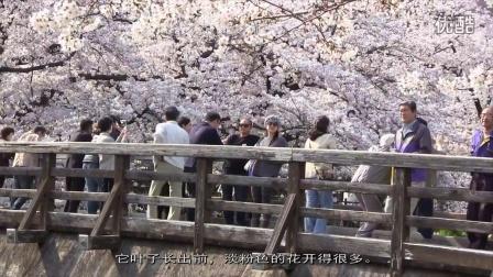 日本名古屋的樱花(3)  山崎川