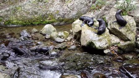 新西兰凯库拉Ohau瀑布的小海豹