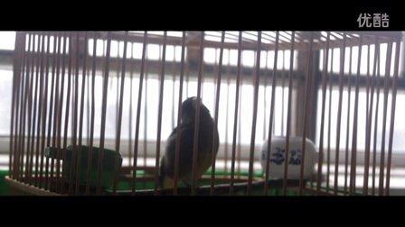金翅雀叫花口大叫学玉鸟芙蓉雀叫法。