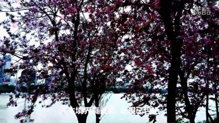 邓丽君-小城故事...柳州紫荆花城市美景