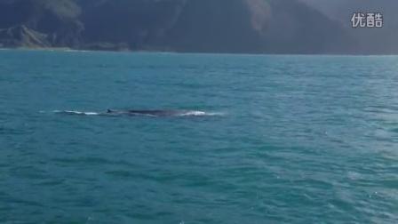 庞然大物 - 蓝鲸到访凯库拉