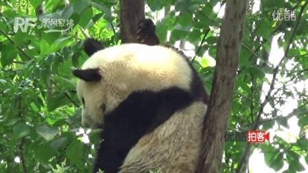 【拍客】成都大熊猫爬树 姿态呆萌惹人爱