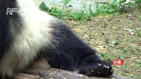 实拍成都大熊猫吃竹笋