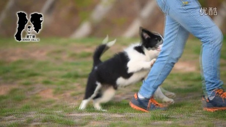 2016爱丁堡边境牧羊犬闪电丽莎母A2 107天