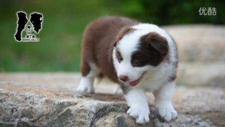 2016爱丁堡边境牧羊犬 二宝公C1 38天