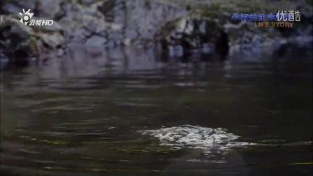 BBC《life story》- 凯库拉Ohau瀑布的小海豹