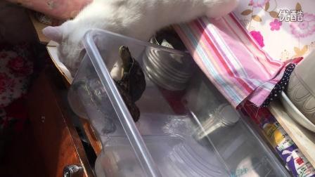 小白猫玩乌龟