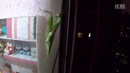 螳螂空中漫步