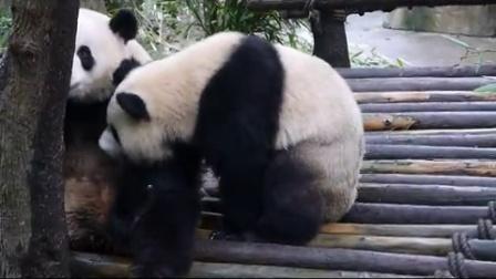 熊猫谷钓猫~苹果