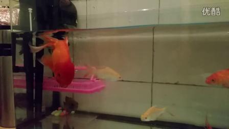 可爱小金鱼