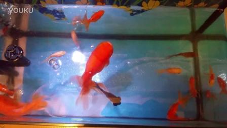 试养小金鱼