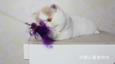 美国CFA注册乳白梵纹异国短毛猫加菲猫MM