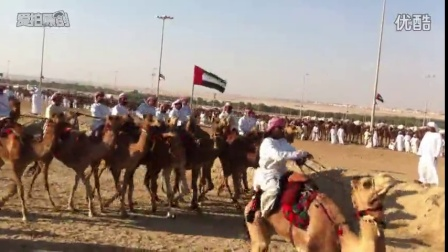 终生难得一见   阿拉伯赛骆驼