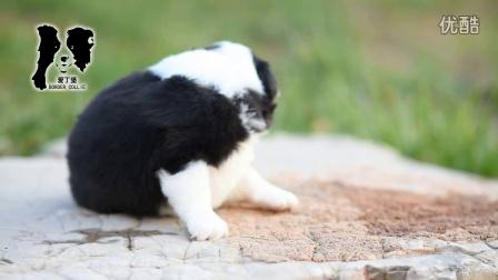 爱丁堡边境牧羊犬-卡秋母A3-24天