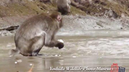 日本猴子泡温泉吃红薯 惬意十足