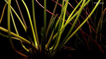 0706-植物快速生长4(莲花花蕾水下生长)