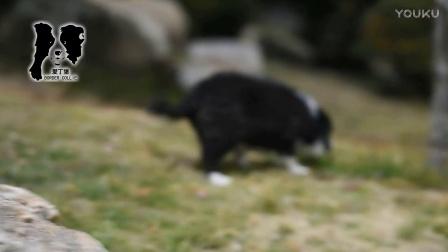爱丁堡边境牧羊犬-二宝母D2-67天