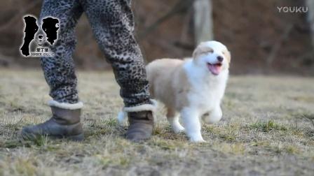 爱丁堡边境牧羊犬-卡秋公A1-83天
