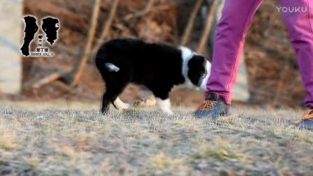 爱丁堡边境牧羊犬-闪电卡秋母A2-88天