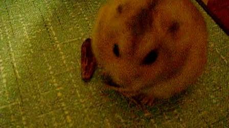 仓鼠吃瓜子