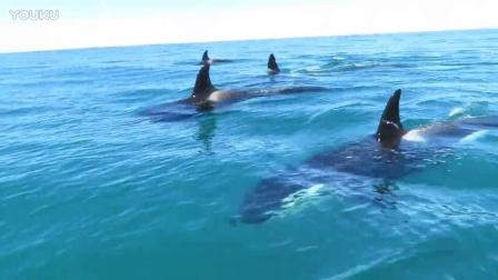 骑着摩托艇在凯库拉与30只虎鲸飙车
