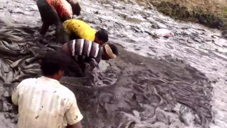 农村野池塘大鱼泛滥成灾,抽干水抓鱼,周围人好羡慕