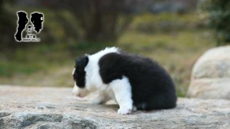 爱丁堡边境牧羊犬-草莓母C1-45天.mpg