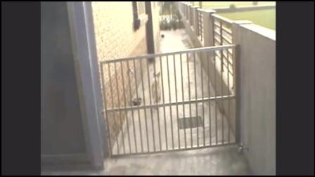 柴犬趁主人不在跑出去,还打算带几个小家伙回家玩