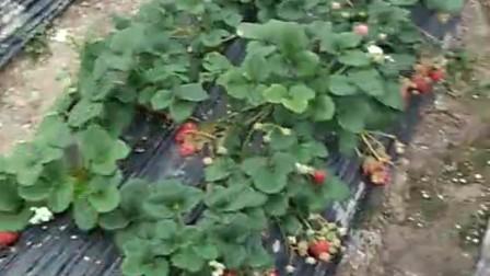 新鲜的草莓。