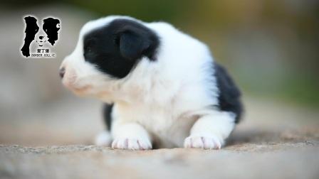 爱丁堡边境牧羊犬-雷诺MONICA公C2(黑白色边牧幼犬)-25天