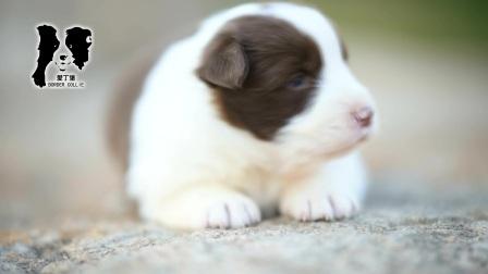 爱丁堡边境牧羊犬-雷诺MONICA母C1(咖啡色or巧克力色边牧幼犬)-25天