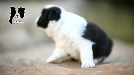 爱丁堡边境牧羊犬-雷诺MONICA母C3(黑白色边牧幼犬)-25天